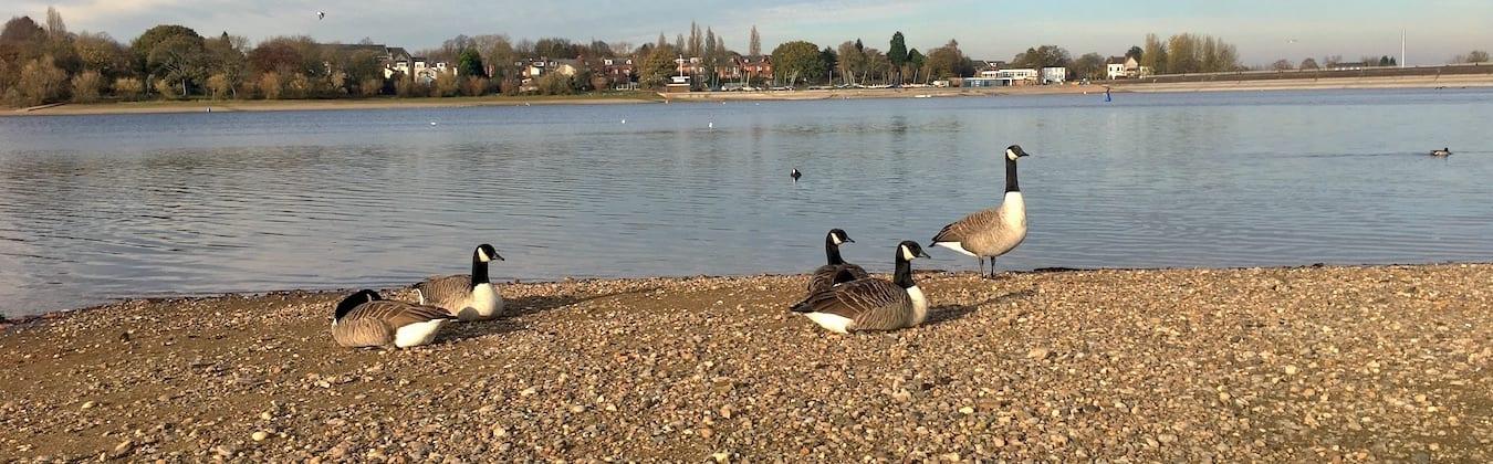 Canada Geese resting at Edgbaston Reservoir