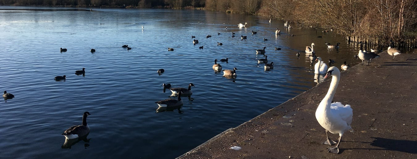 Birds at Swan Pool in Sandwell Valley Country Park