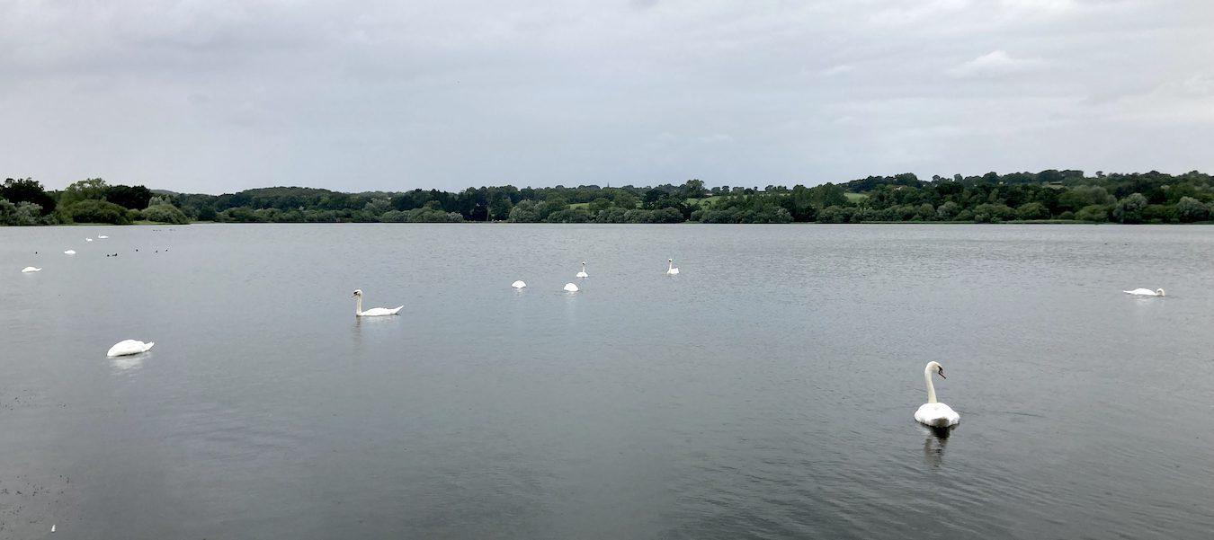 Mute swans on Ravensthorpe Reservoir